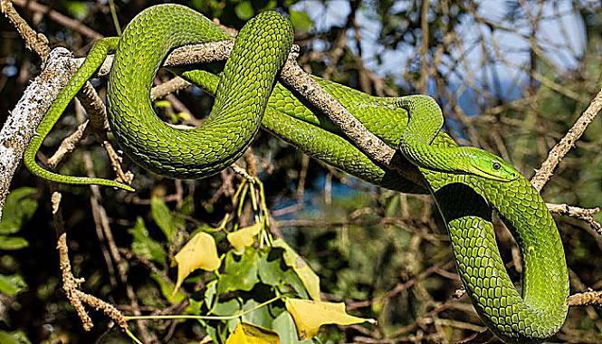 mamba verde serpiente