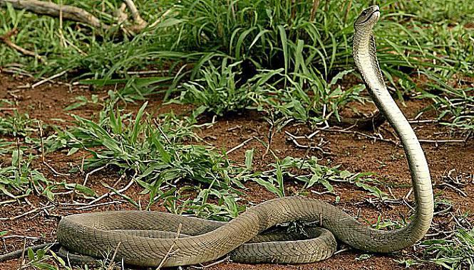 mamba negra serpiente
