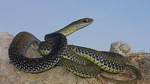 la serpiente bastarda