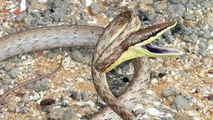 serpiente bejuca