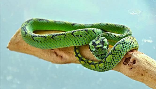víbora de palma verde morfología hábitat alimentación veneno y mas