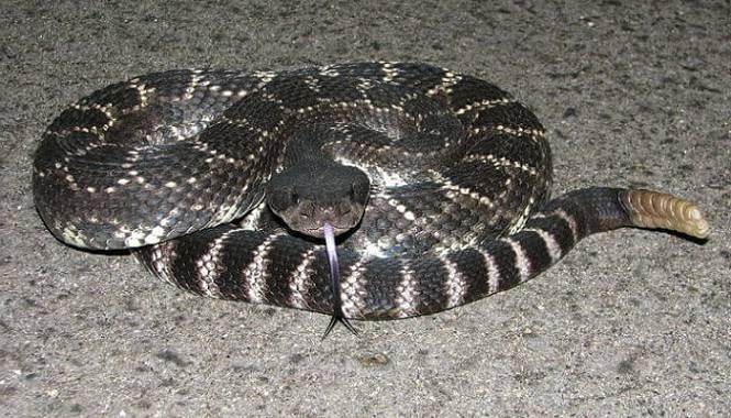 Serpiente de cascabel del pacífico meridional