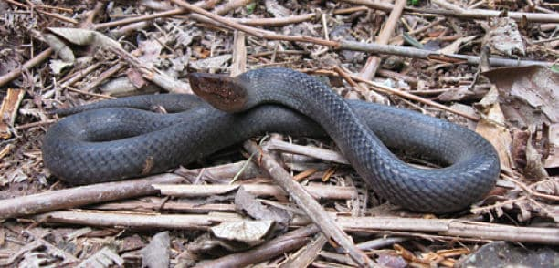 Serpiente negra de Günther