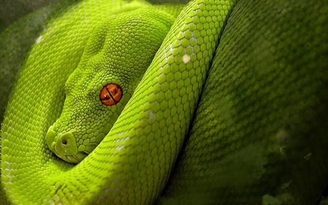 mamba verde occidental