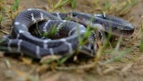 Serpiente Krait