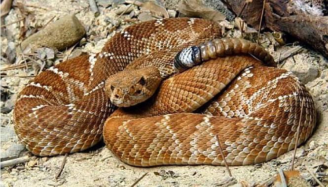 Serpiente de cascabel diamante rojo