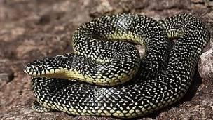 serpiente real