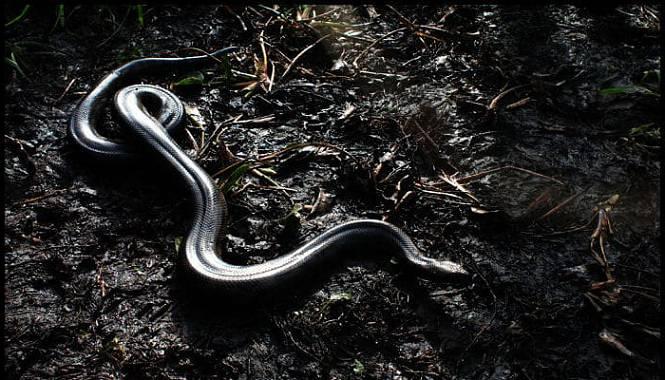anaconda boliviana