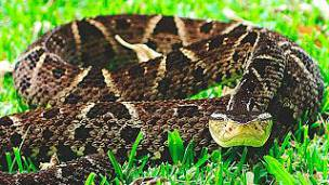 Serpiente Barba Amarilla: Descripción, Peligrosidad, Consejos Y Más.