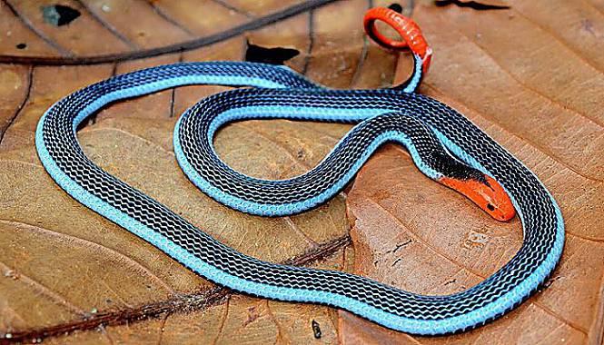 serpiente coral azul