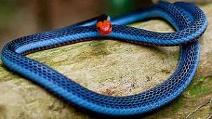Serpiente Coral Azul: Morfología, Hábitat , Veneno Y mas.