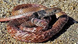 Serpiente Látigo: Morfología, Reproducción, Consejos Y Mas.