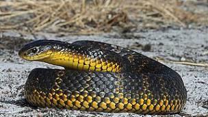 Serpiente Tigre: Morfología, Hábitat, Veneno Y Tipos.