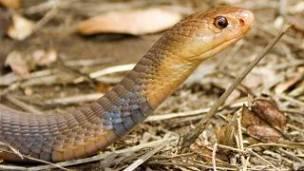 serpiente de mali