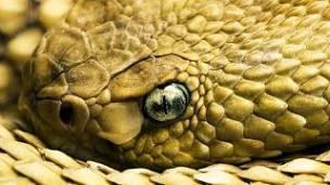 Cascabel basilisco:Descripción, Morfológica, Reproducción, Advertencia Y Curiosidades