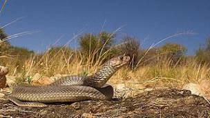 cobra de Angola