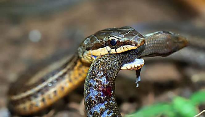 serpiente corredora