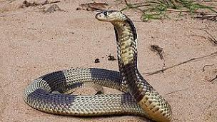 cobra hocicuda