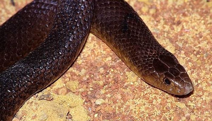 Serpiente marrón occidental