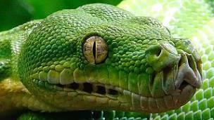 Pitón Verde: Prescripción, Morfología, Reproducción Y Más