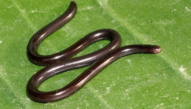 Serpiente ciega de brahminy