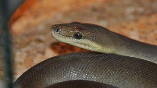 Pitón Olivácea: Descripción, Morfología, Alimentación, Consejos Y Más
