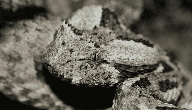 Bitis albanica