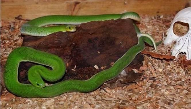víbora nocturna verde